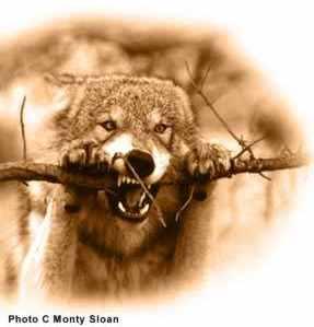 Vlčata a jejich výchova | komunikace | vlk a mýtus |